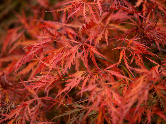 Red leaved acers in the autumn light
