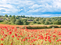 Poppy fields in an English summer