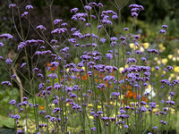 Verbena bonariensis in a wild flower meadow