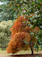 The reddening of the acer