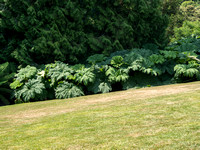 Giant leaves by the leylandii